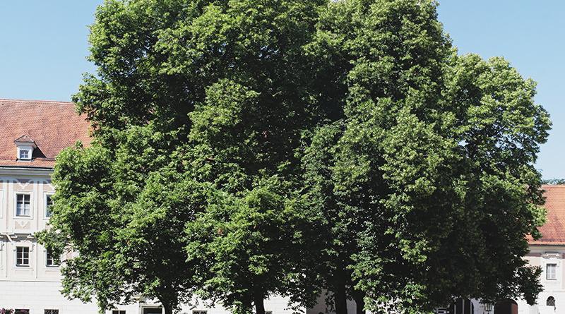 Ebrach Linde Baum Denkmal Frieden Franken