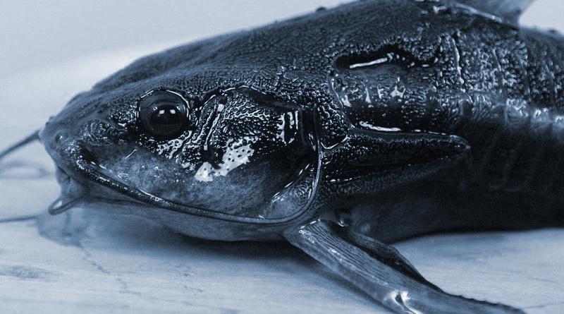Wels Fisch Burgebrach angeln